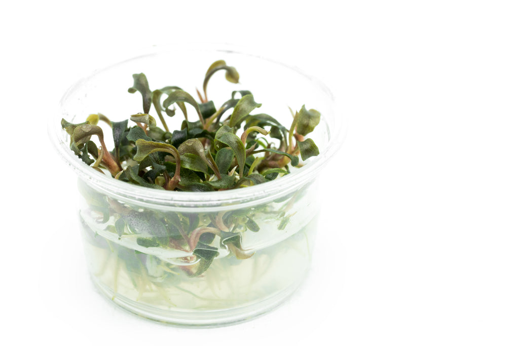 Shop Bucephalandra Kedagang Japan Tissue Culture Aquatic Plants - Glass Aqua