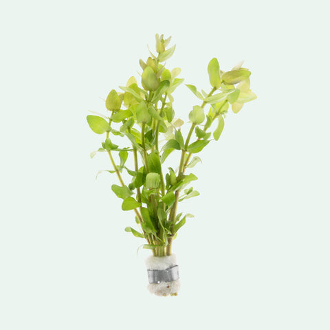 Shop Bacopa Caroliniana Aquatic Plants - Glass Aqua