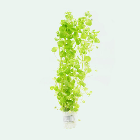 Shop Bacopa Australis Aquatic Plants - Glass Aqua