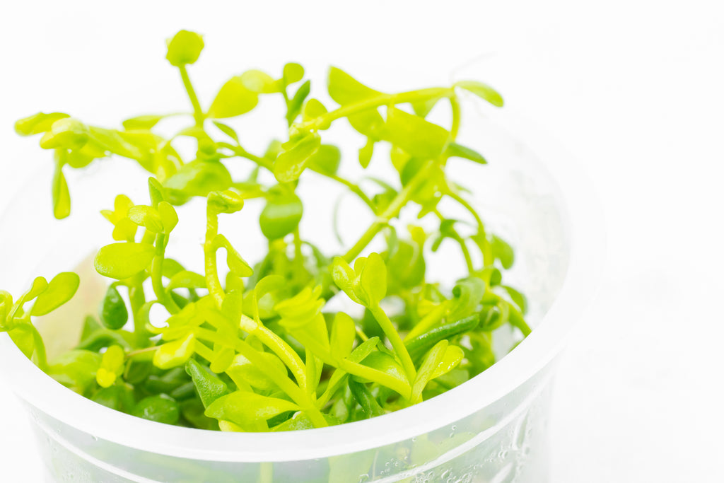 Shop Bacopa Monnieri Tissue Culture Aquatic Plants - Glass Aqua
