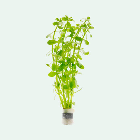 Shop Bacopa Monnieri Aquatic Plants - Glass Aqua