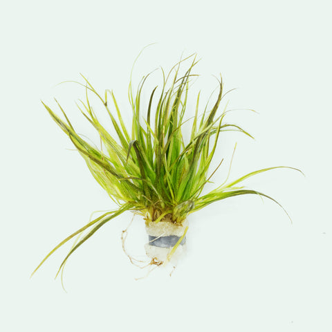 Shop Blyxa Japonica Aquatic Plants - Glass Aqua