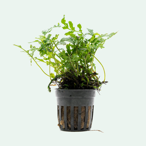 Shop Bolbitis Difformis Aquatic Plants - Glass Aqua