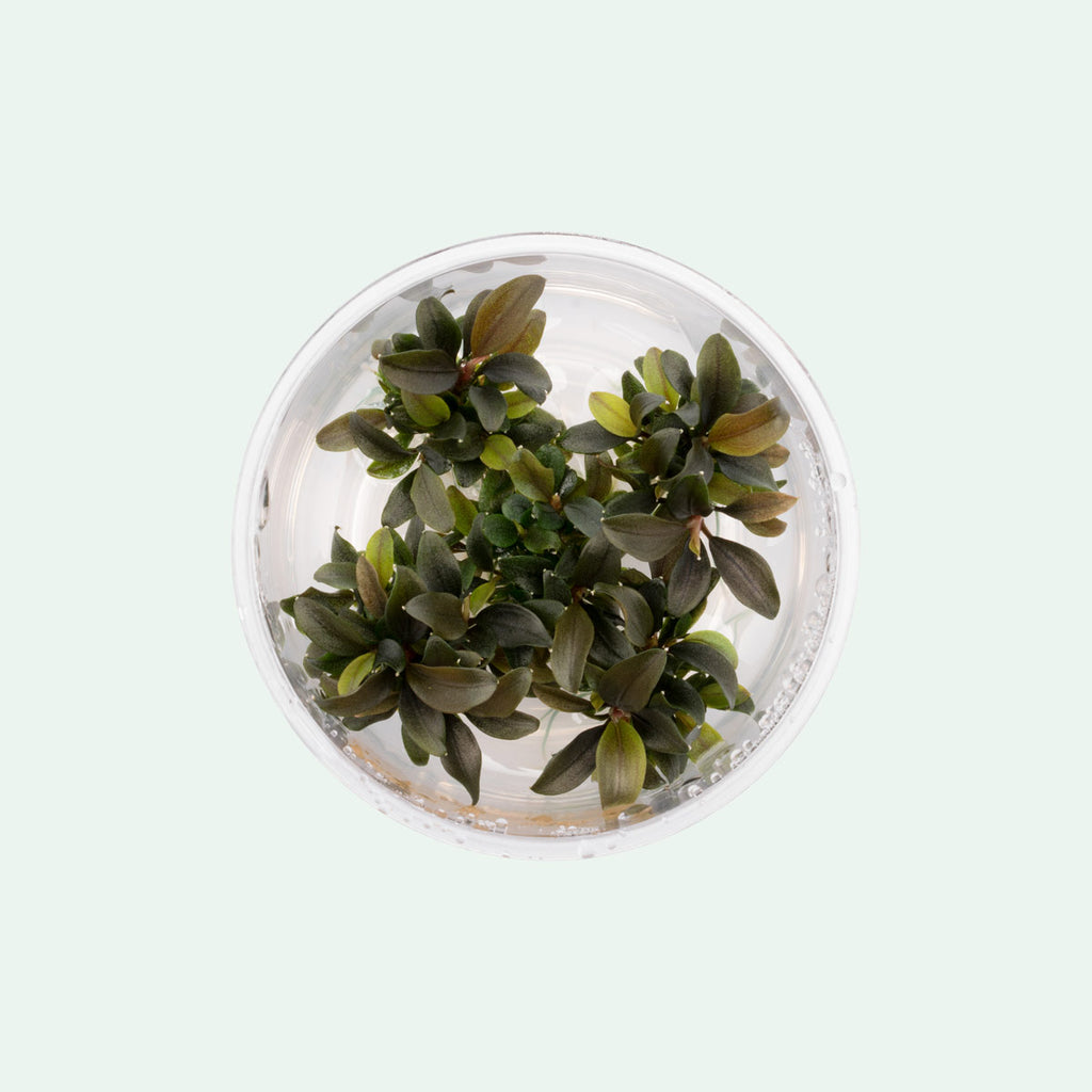 Shop Bucephalandra Red Mini Aquatic Plants - Glass Aqua