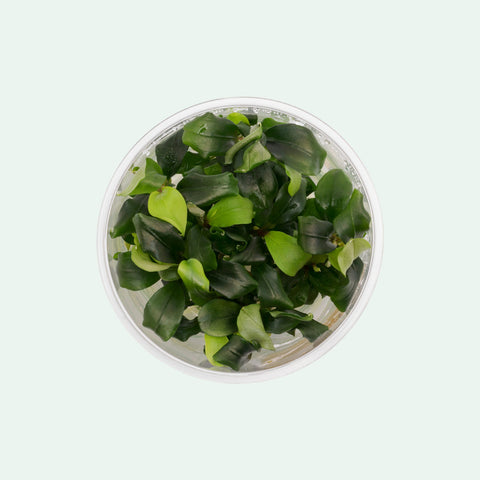 Shop Bucephalandra Green Wavy Tissue Culture by UNS Aquatic Plants - Glass Aqua