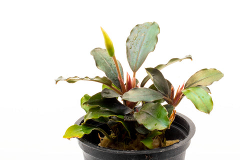 Shop Bucephalandra Brownie Phoenix Aquatic Plants - Glass Aqua