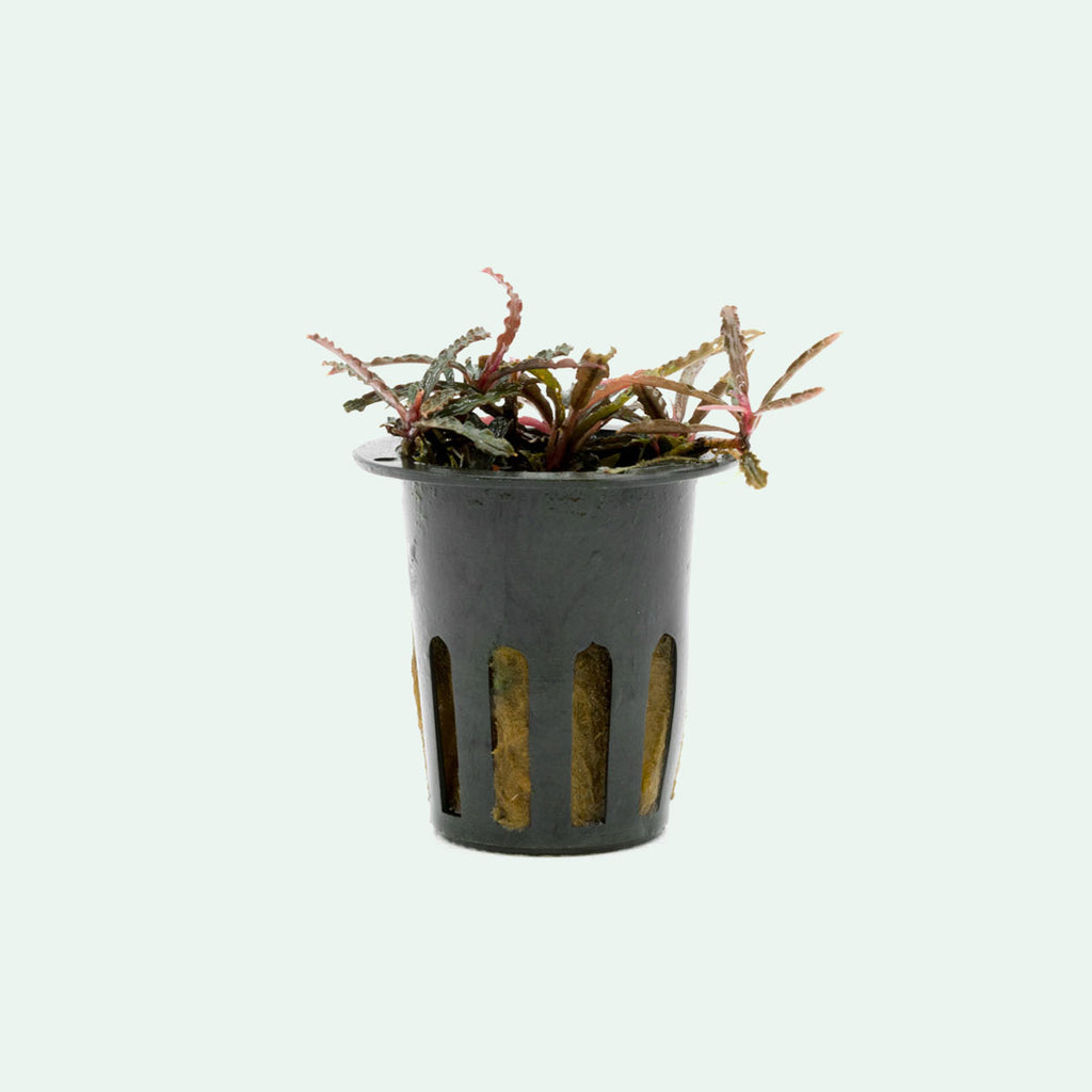 Shop Bucephalandra Catherinae Red Aquatic Plants - Glass Aqua