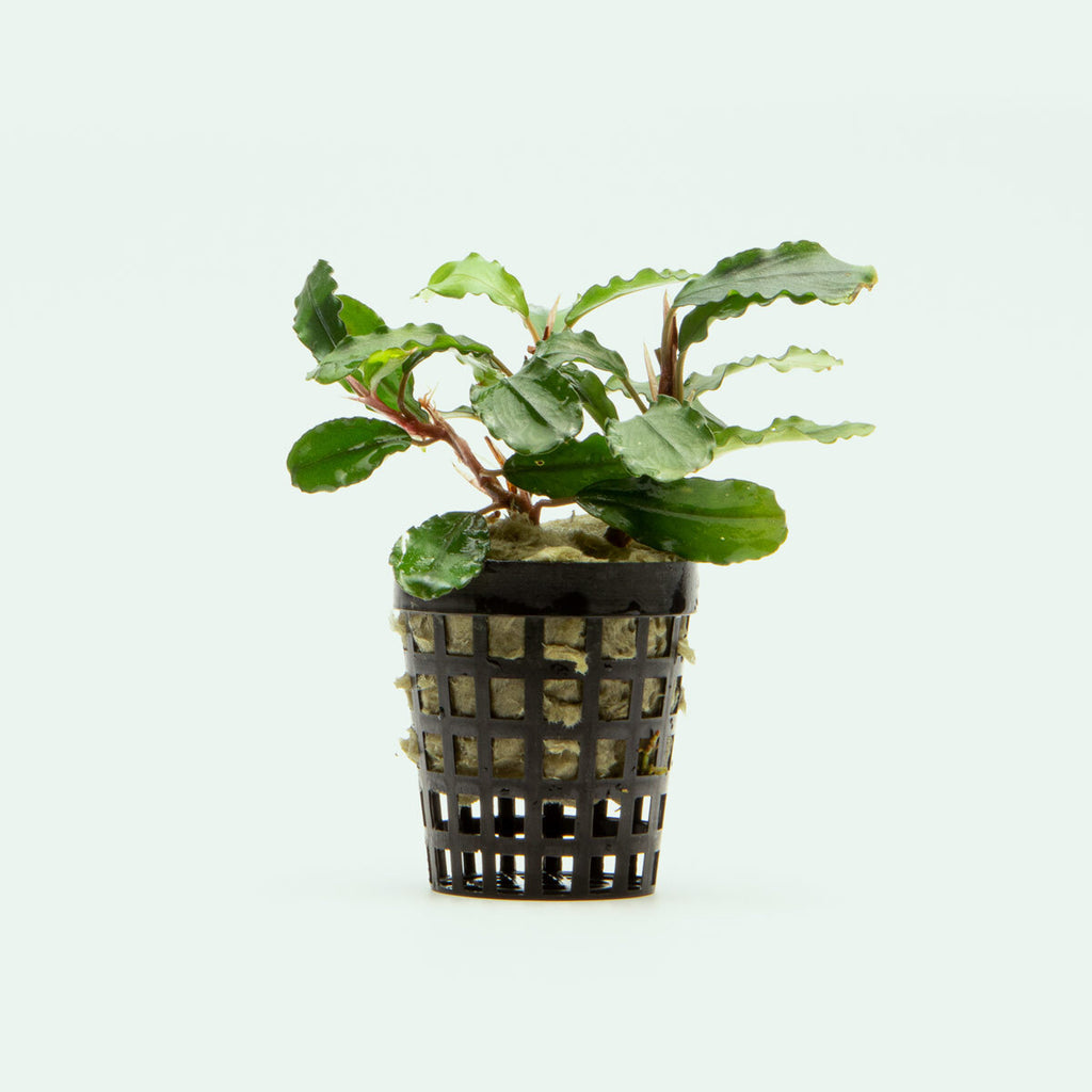 Shop Bucephalandra Claudia Aquatic Plants - Glass Aqua