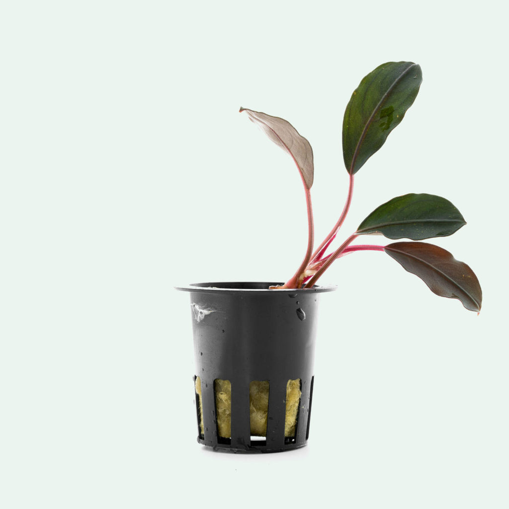Shop Bucephalandra Flamingo Aquatic Plants - Glass Aqua