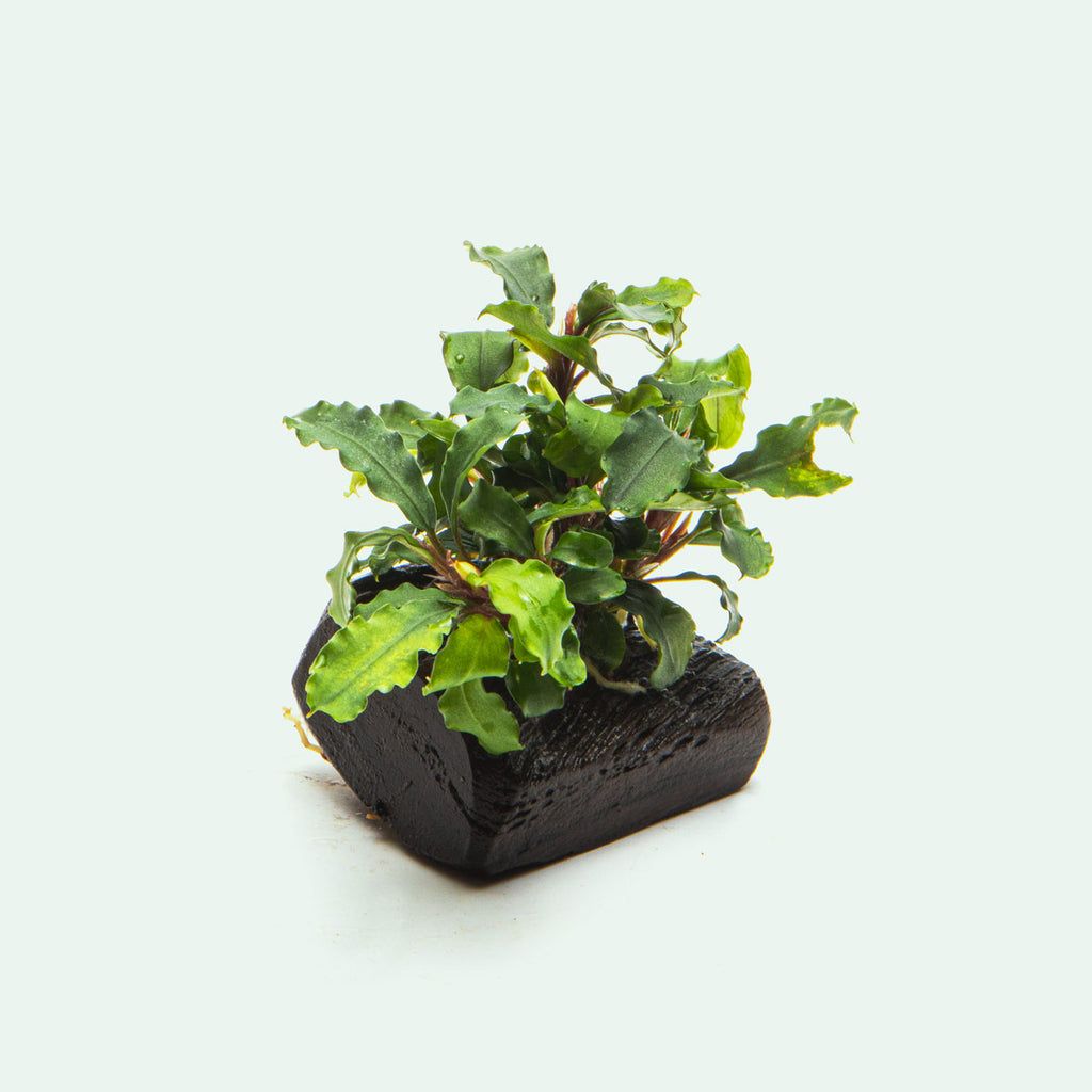 Bucephalandra Buce Green Wavy Easy Aquarium Plant for Planted Tank
