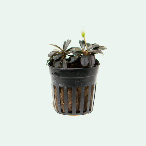 Shop Bucephalandra Kedagang Round Mini Aquatic Plants - Glass Aqua
