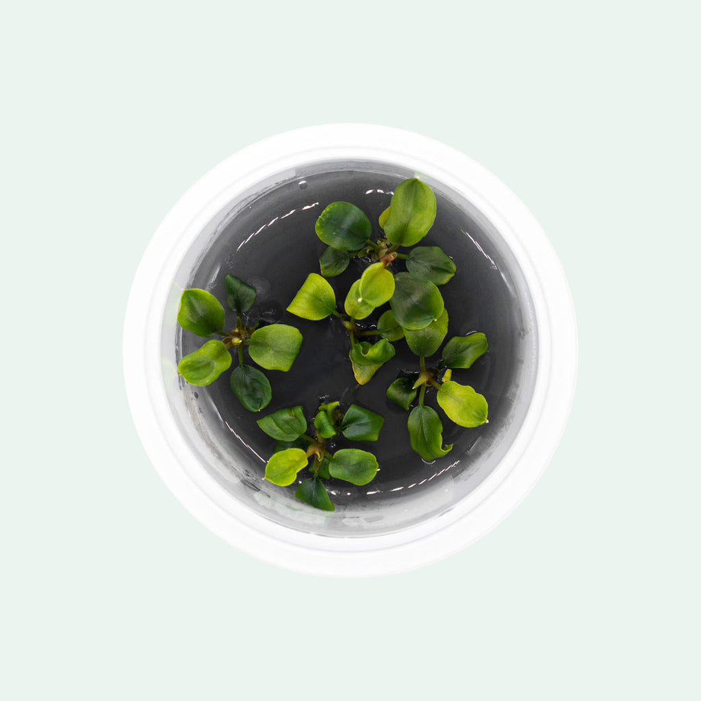 Shop Bucephalandra Maia Aquatic Plants - Glass Aqua