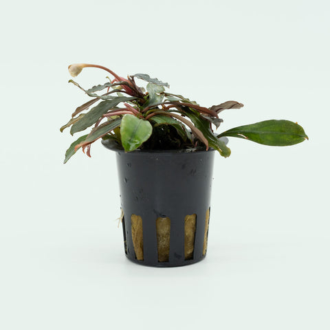 Shop Bucephalandra Paris Aquatic Plants - Glass Aqua