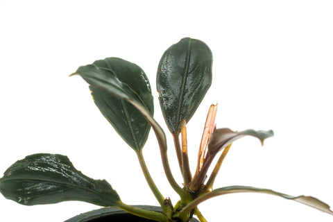 Shop Bucephalandra Pink Lady Aquatic Plants - Glass Aqua