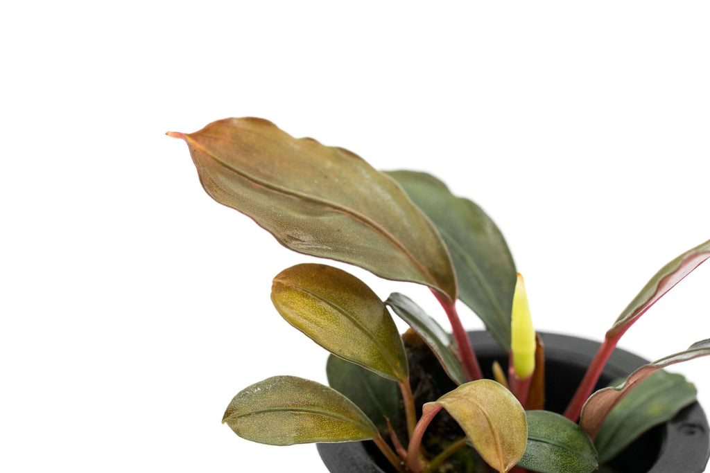 Shop Bucephalandra Red Under Aquatic Plants - Glass Aqua