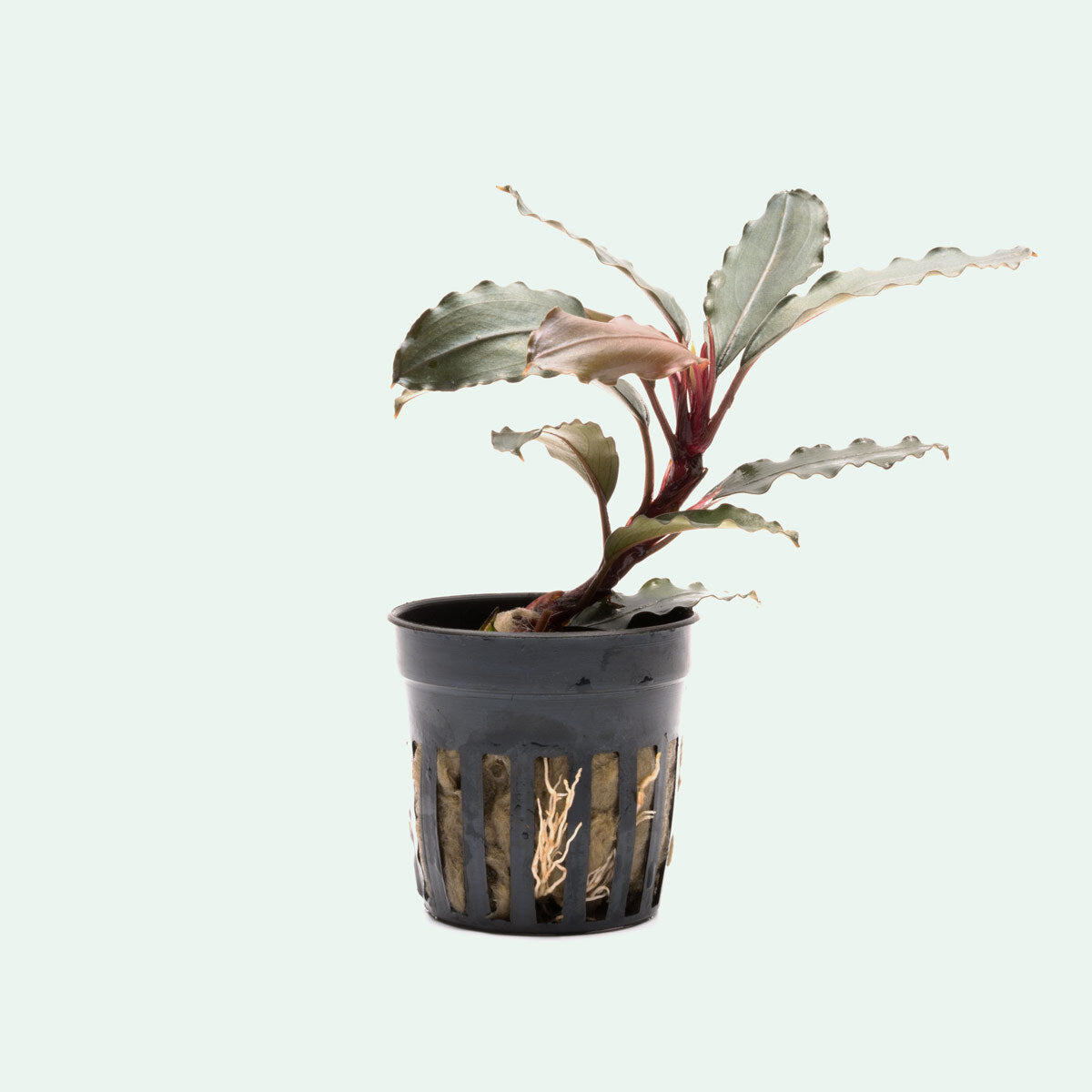 Shop Bucephalandra Theia Red Aquatic Plants - Glass Aqua