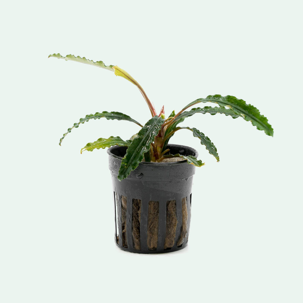 Shop Bucephalandra Theia Aquatic Plants - Glass Aqua