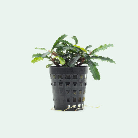 Shop Bucephalandra Broad Wavy Aquatic Plants - Glass Aqua