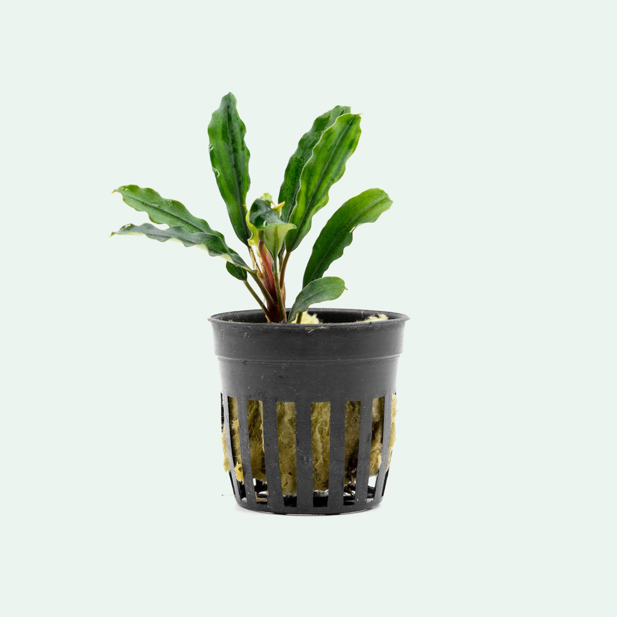 Shop Bucephalandra Kedagang Green Aquatic Plants - Glass Aqua