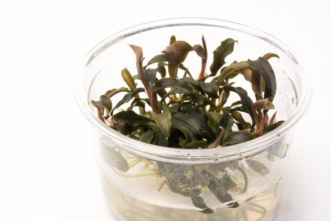 Shop Bucephalandra Kedagang Mini Black Aquatic Plants - Glass Aqua
