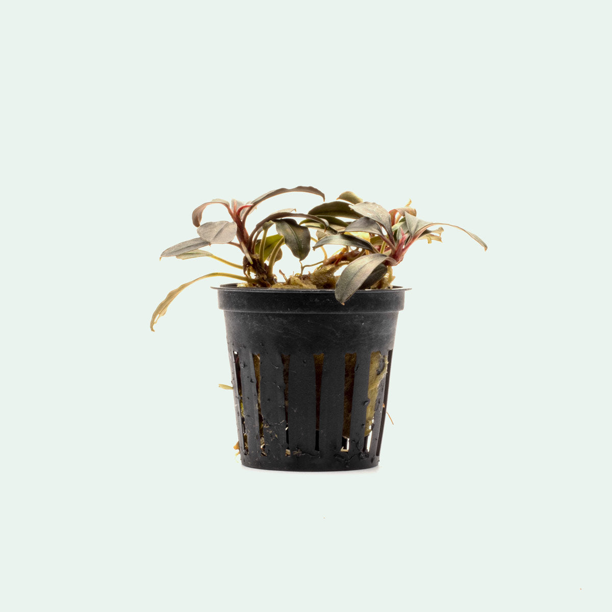 Shop Bucephalandra Kedagang Round Aquatic Plants - Glass Aqua
