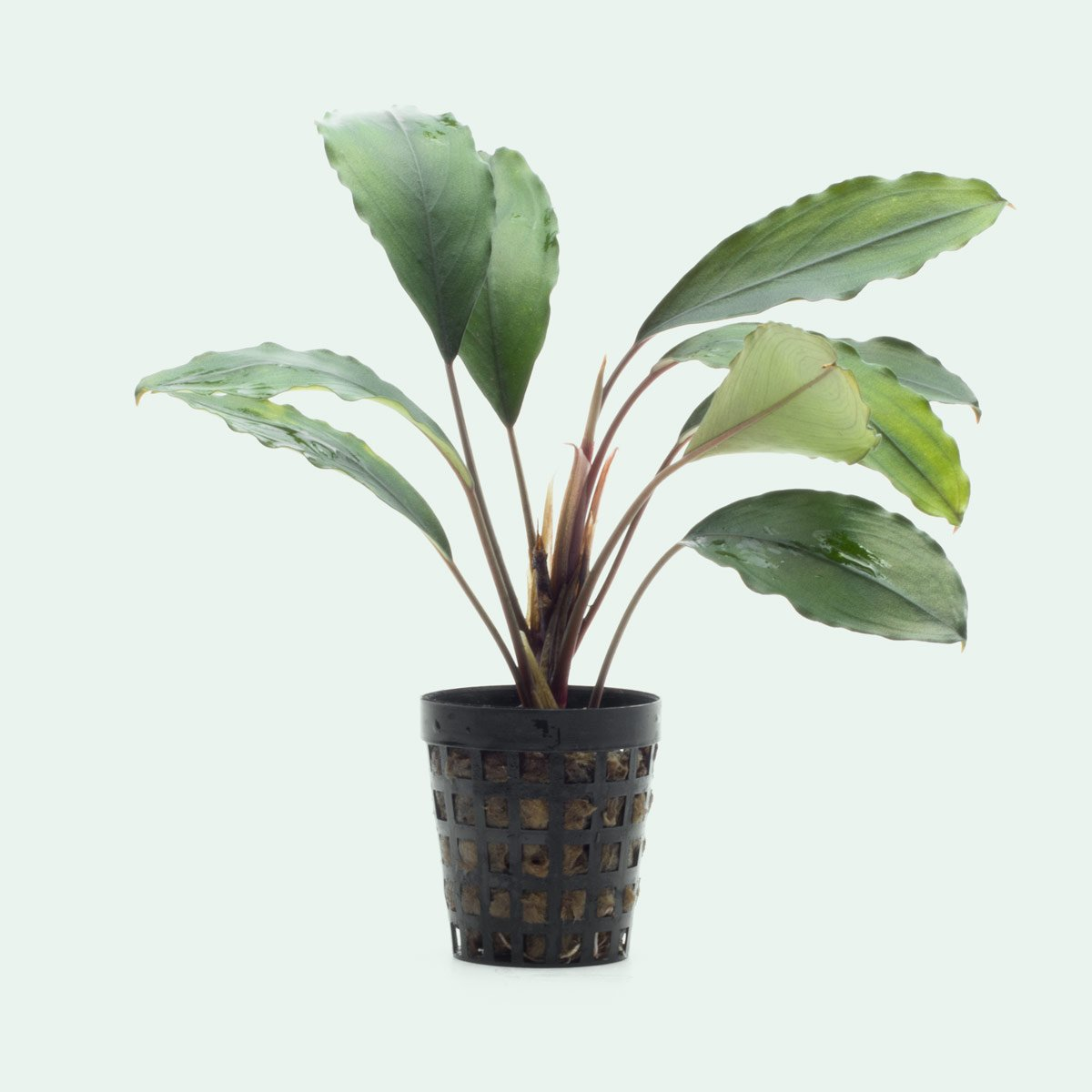 Shop Bucephalandra Sekadau Aquatic Plants - Glass Aqua