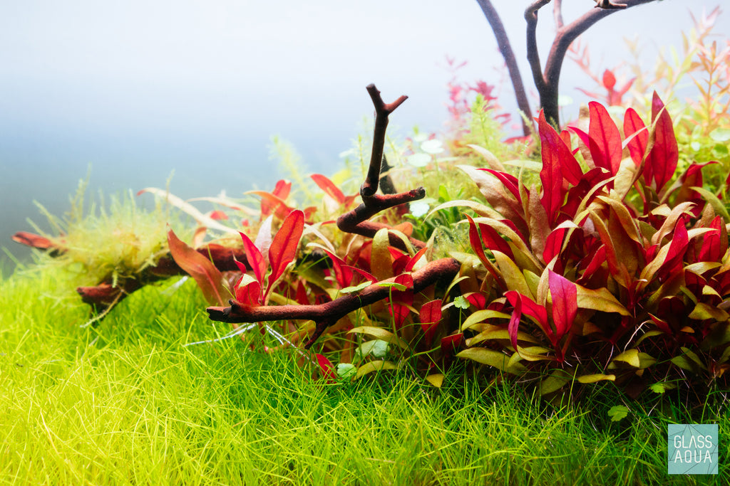 Shop Eleocharis Parvula Mini Aquatic Plants - Glass Aqua