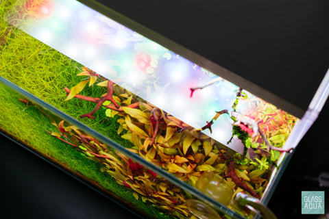 Shop Alternanthera Reineckii Mini Aquatic Plants - Glass Aqua