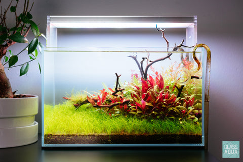 Shop Hydrocotyle Sibthorpioides Aquatic Plants - Glass Aqua