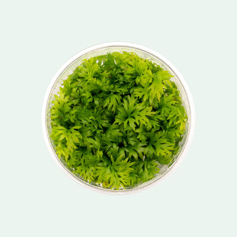 Shop Ceratopteris Thalictroides Aquatic Plants - Glass Aqua