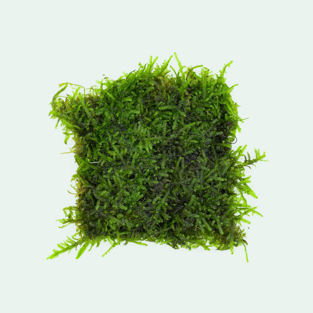Shop Christmas Moss Large Mat Aquatic Plants - Glass Aqua