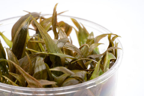 Shop Cryptocoryne Becketii Aquatic Plants - Glass Aqua