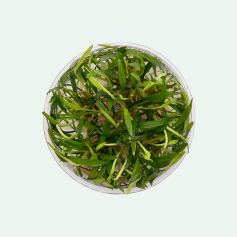 Shop Cryptocoryne Lucens Tissue Culture by UNS Aquatic Plants - Glass Aqua