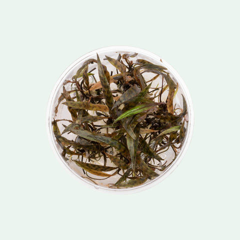 Shop Cryptocoryne Nurii Aquatic Plants - Glass Aqua
