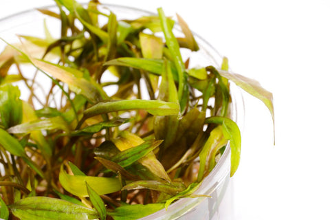 Shop Cryptocoryne Beckettii 'Petchii' Tissue Culture by UNS Aquatic Plants - Glass Aqua