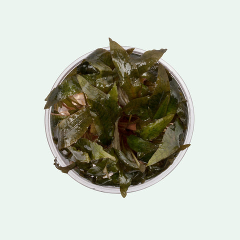Shop Cryptocoryne Tropica Tissue Culture by UNS Aquatic Plants - Glass Aqua