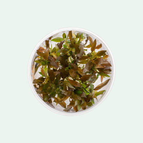 Shop Cryptocoryne Walkeri Aquatic Plants - Glass Aqua