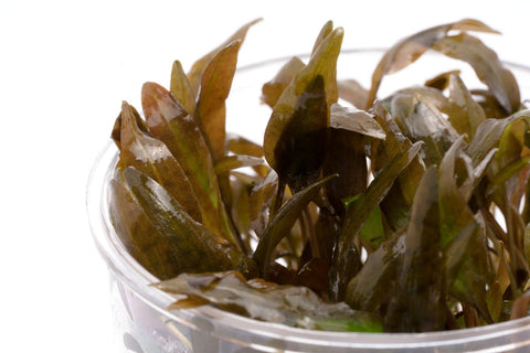 Shop Cryptocoryne Wendtii Brown Aquatic Plants - Glass Aqua