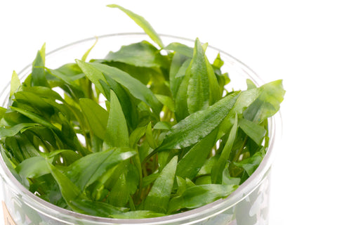 Shop Cryptocoryne Wendtii Green 'Gecko' Tissue Culture by UNS Aquatic Plants - Glass Aqua