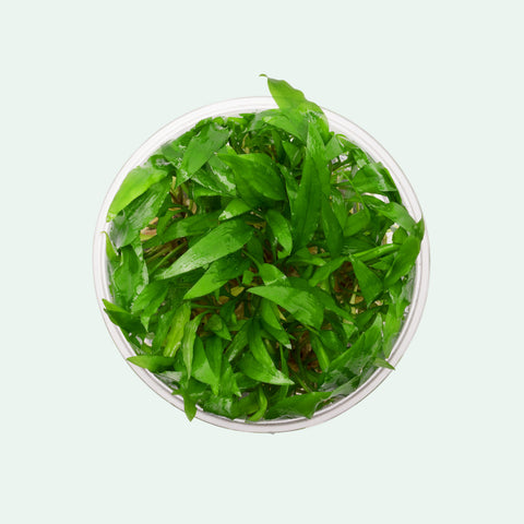 Cryptocoryne Wendtii Green 'Gecko' Tissue Culture by UNS