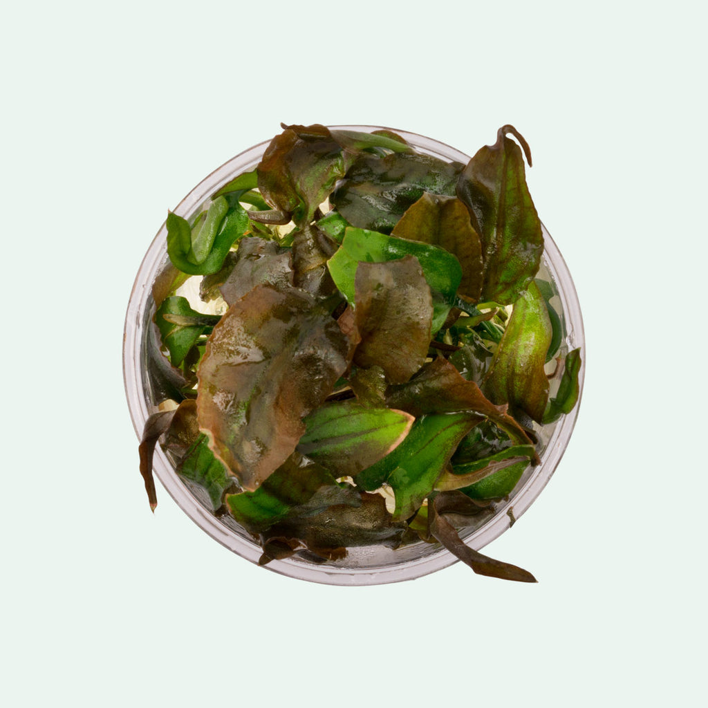 Shop Cryptocoryne Yujii Aquatic Plants - Glass Aqua
