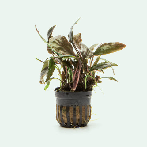 Cryptocoryne Cordata Blassii Easy Aquarium Plant for Planted Tank