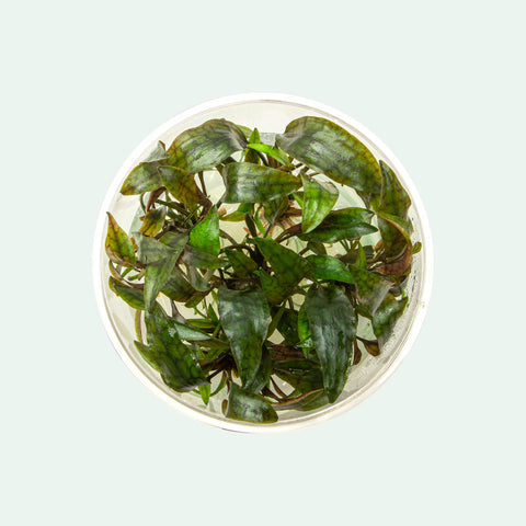 Shop Cryptocoryne Purpurea Aquatic Plants - Glass Aqua
