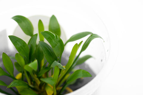 Shop Cryptocoryne Pygmaea Aquatic Plants - Glass Aqua