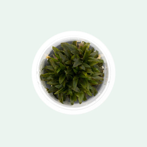 Shop Cryptocoryne Wendtii Kompakt Aquatic Plants - Glass Aqua