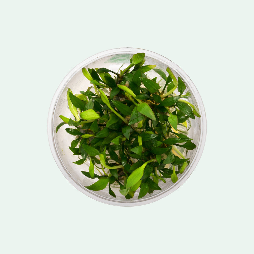 Shop Cryptocoryne Lutea Aquatic Plants - Glass Aqua