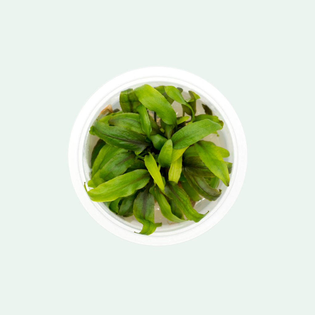 Shop Cryptocoryne Undulata Aquatic Plants - Glass Aqua