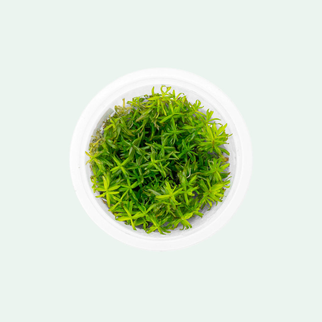 Shop Didiplis Diandra Aquatic Plants - Glass Aqua