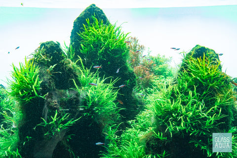 Shop Microsorum Pteropus Narrow Mat Aquatic Plants - Glass Aqua