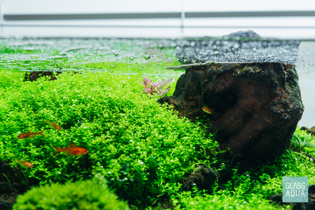 Shop Hygrophila Chai Aquatic Plants - Glass Aqua